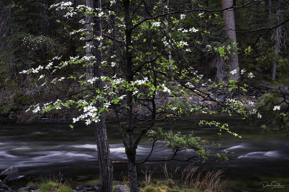 Dogwood and Merced River, Yosemite National Park