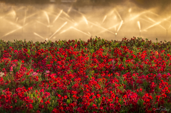 Sweet Pea Field at Sunset, Central California