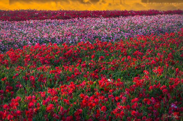 Sweet Pea Field at Sunset, Central California #2