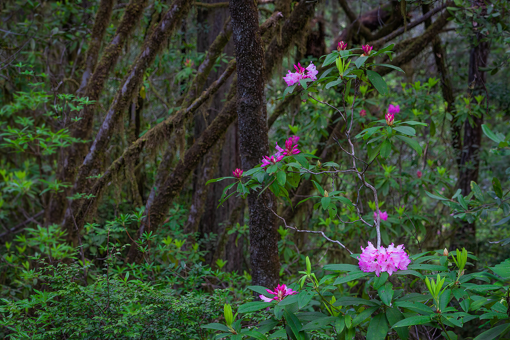 Rhodendrons in Redwood Forest, California