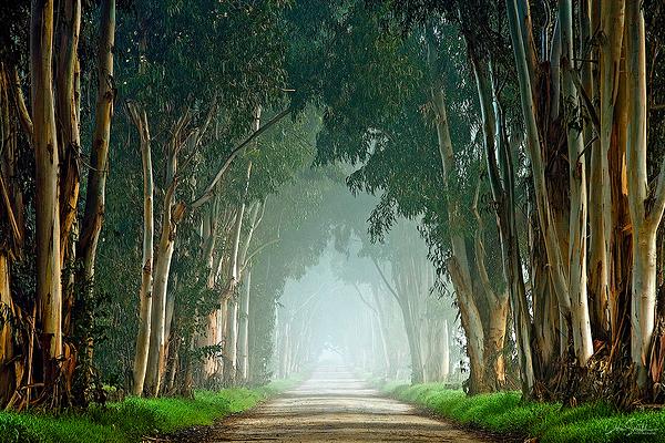 Foggy Lane of Eucalyptus Trees, Central California