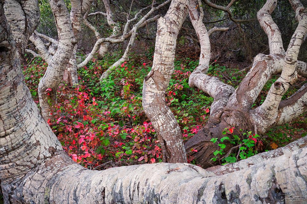 Pygmy Oaks, Elfin Forest, Los Osos, CA