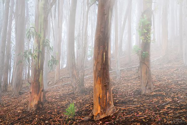 Evening Fog and Eucalyptus Grove, Central CA