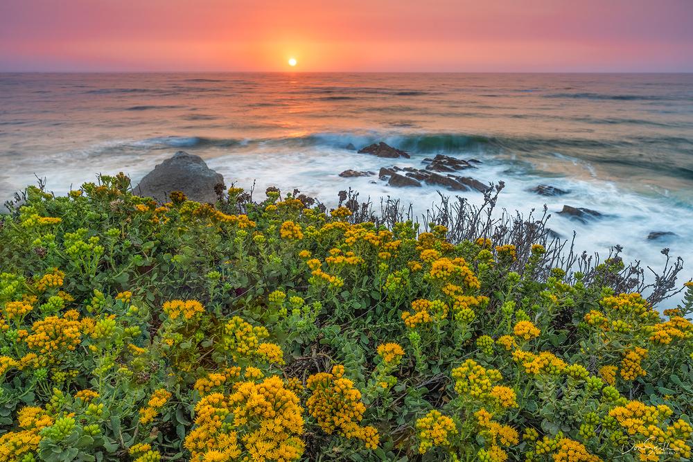 Menzies' Goldenbush and Sunset, Central California