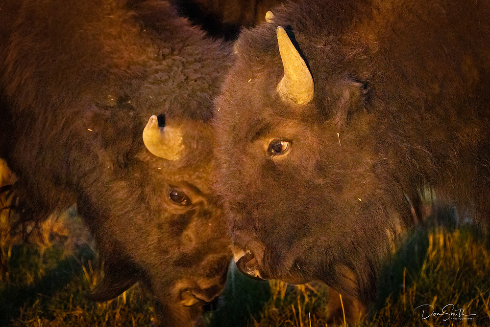 Bison Affection :: Grand Teton NP