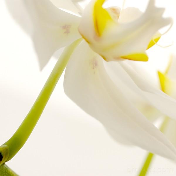 orquídia
