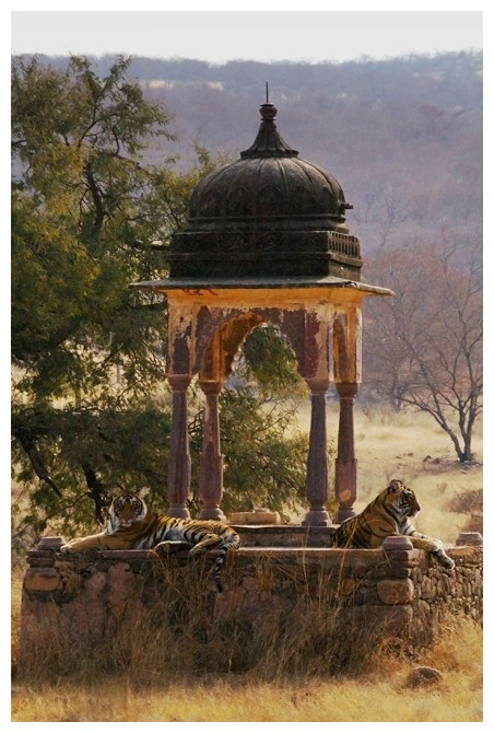 Cliché of India : Tigers resting on a Moghol tomb.