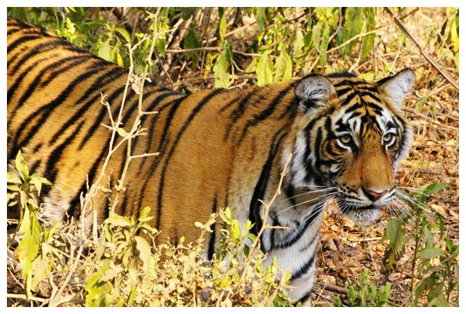 Wild Tiger from Ranthambore NP, India.