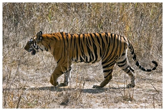 Tigress in the wild.