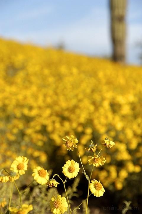 Yellow Brittlebush on Silly Mountain