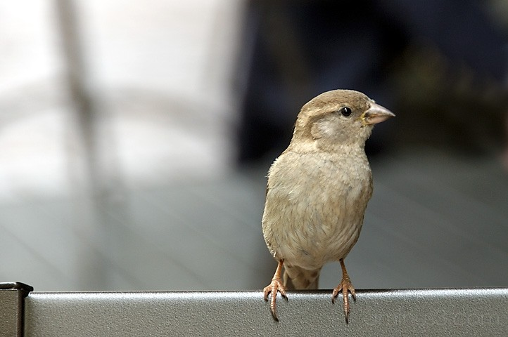 Sparrow in the city