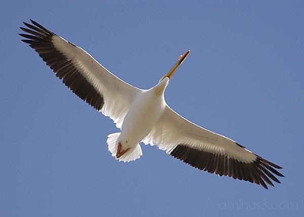Pelican inflight