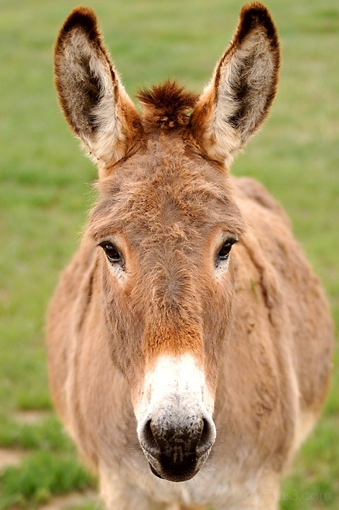 a mule looking at you