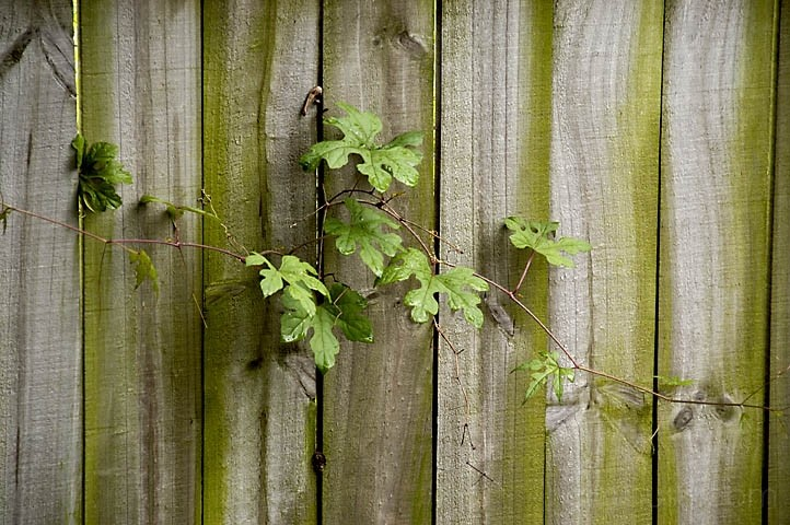Plant growing through fence