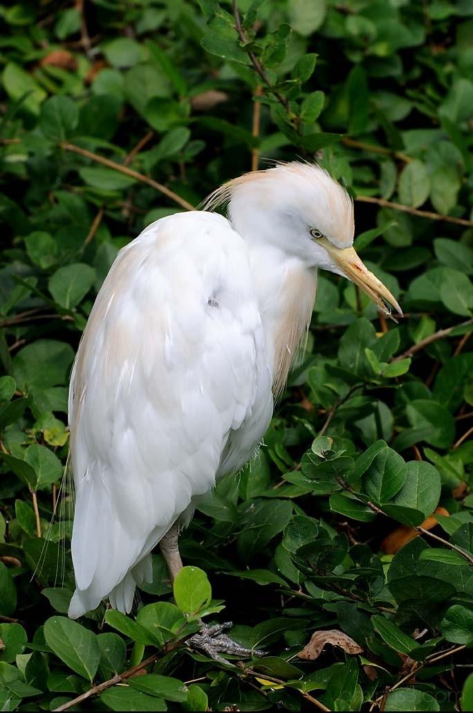 African White Egret