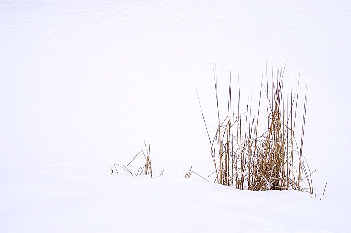 Reeds in snow