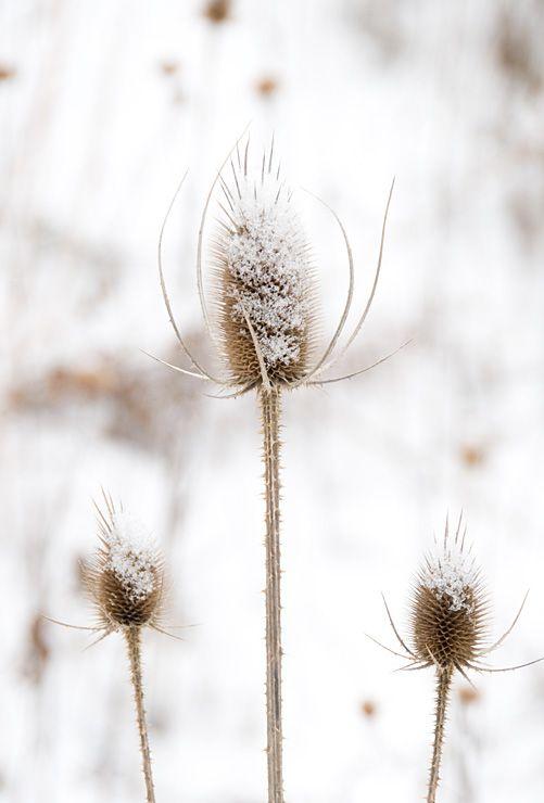 Teasels in Winter