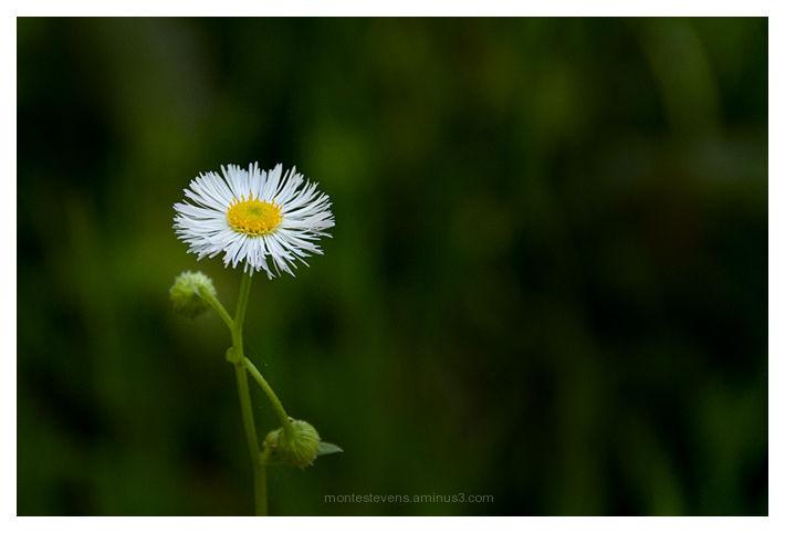 Little daisy from Inniswood Gardens