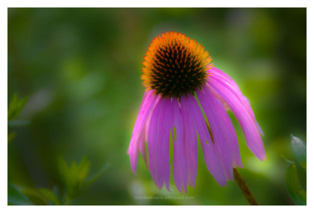 Cone flower after post processing in Lightroom 2