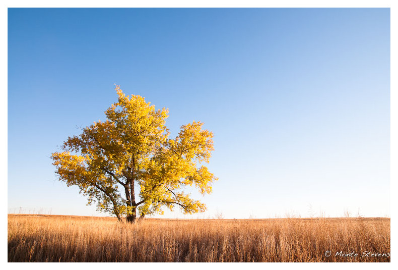 The Quaking Cottonwood Tree