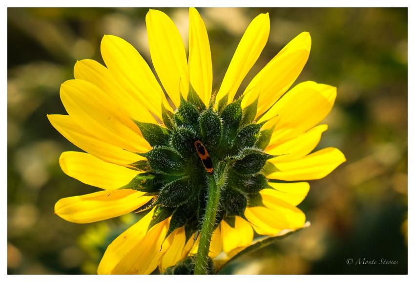 Milkweed Bug on Sunflower