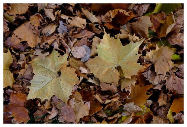 Big Maple Leaves