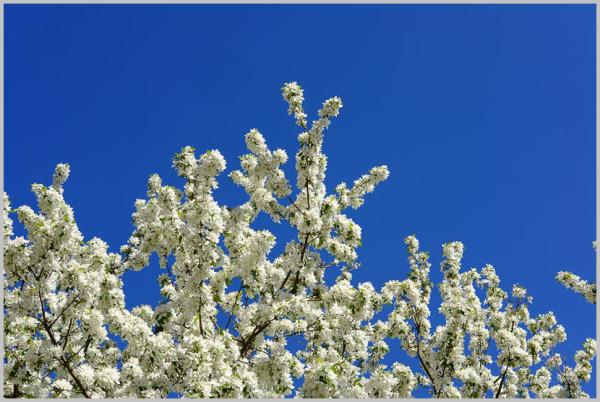 Blossoms Against a Blue Sky