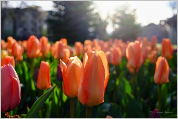 Tulips are Sunrise