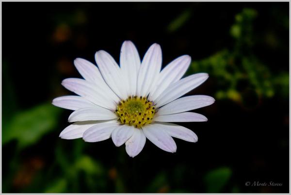 Avalanche  Sun Daisy