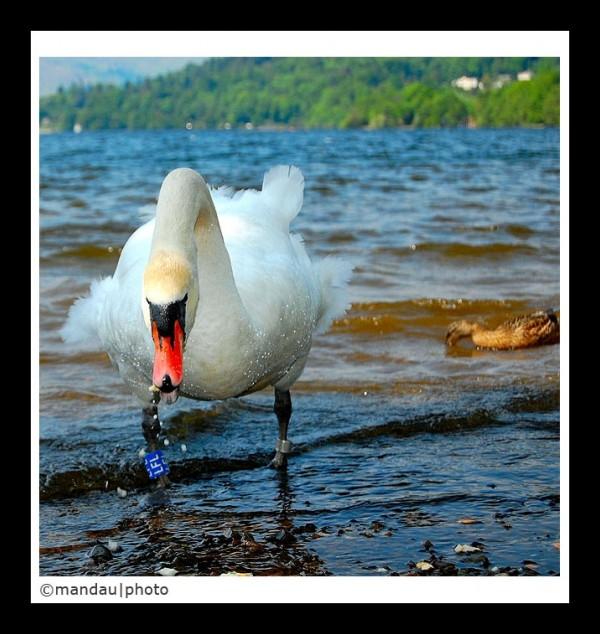 Duck   Lake Windermere
