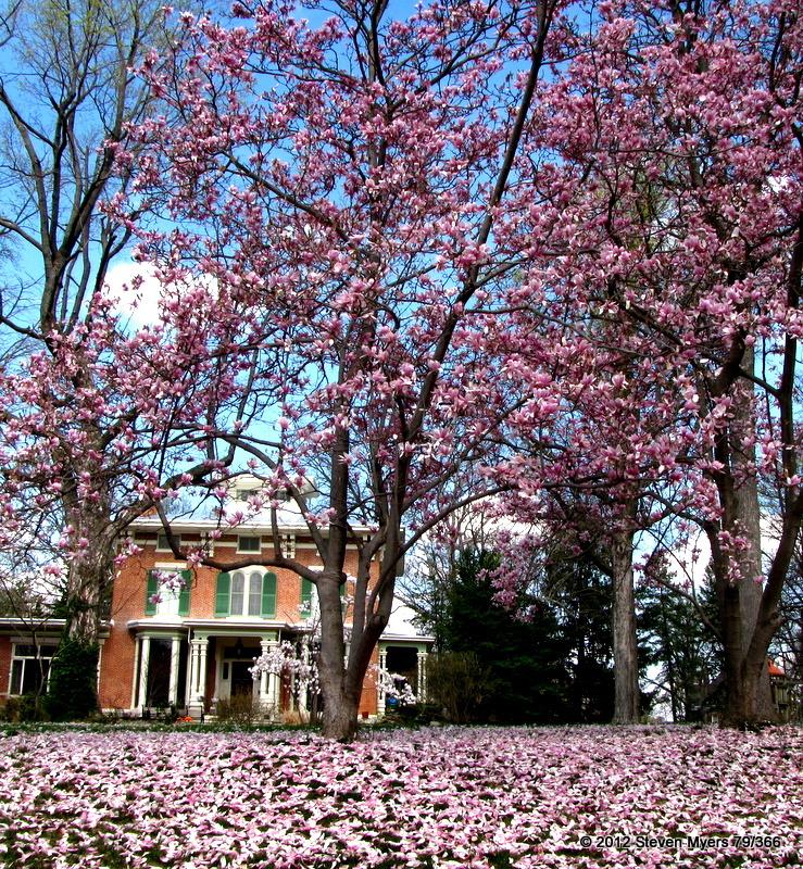 79/366 Springtime Petal Cover