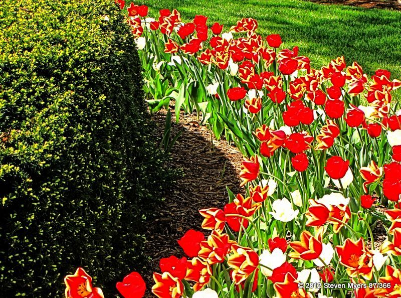 87/366 Blooming Spring Tulips