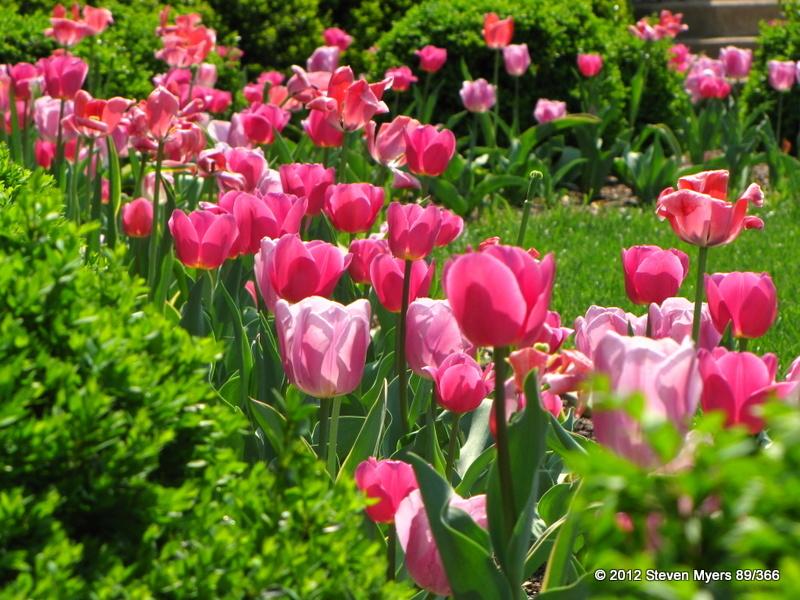 89/366 Pink Spring