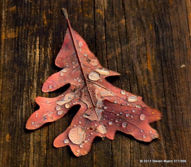 317/366 Wet Leaf