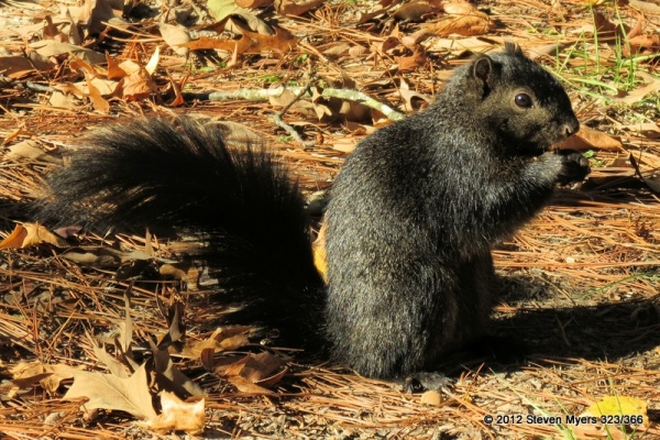 323/366 Black Squirrel of Texas