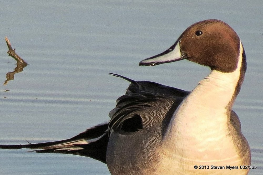 032/365 Pintail Duck