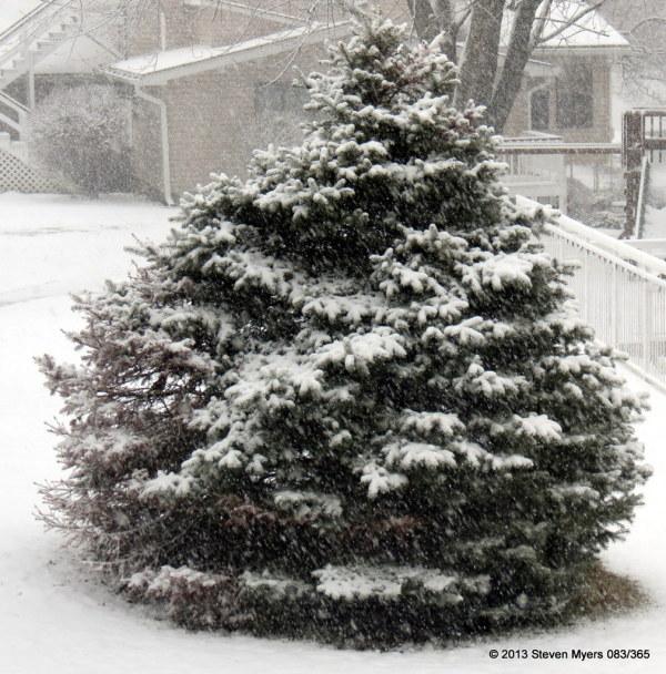 083/365 Snowy Blue Cedar