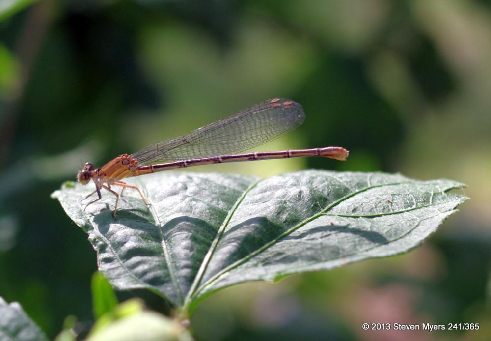 241/365 Dragon Fly