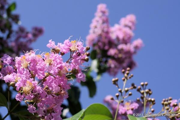 249/365 Flowering Tree