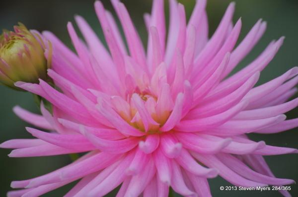 284/365 Flower Blooming