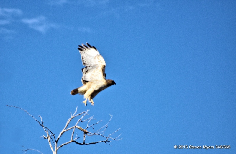 346/365 Take off- Red tailed Hawk