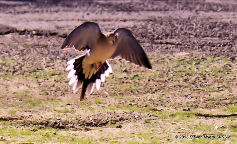 347/365 Cleared for Landing- Mourning Dove