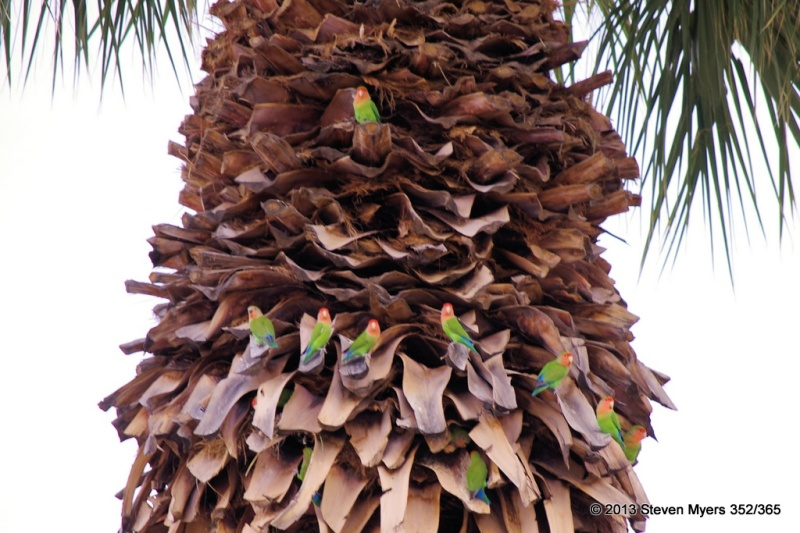 352/365 Rosy-faced Love Birds