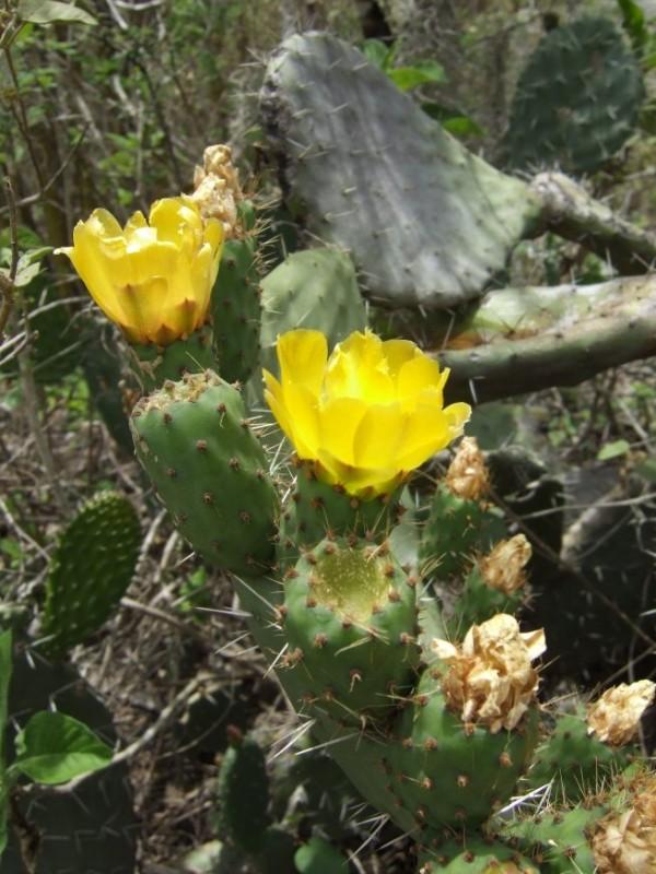 Cactus on Inca Trail, Peru