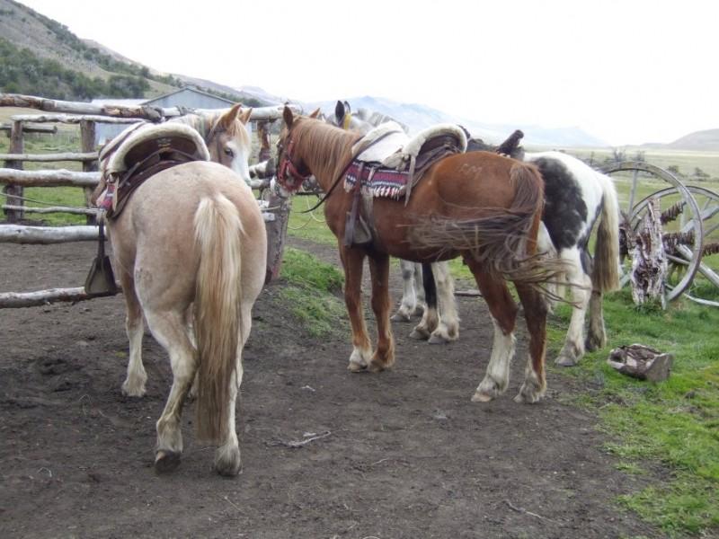 Patagonian Horses