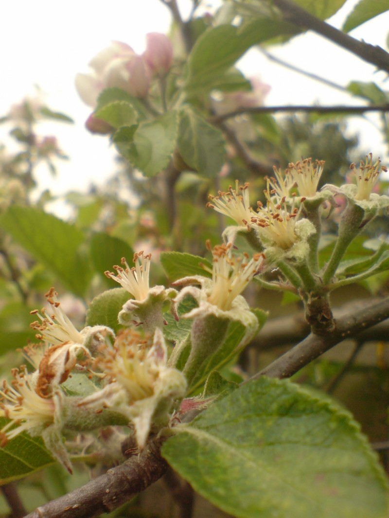 Apple,  from flower to fruit