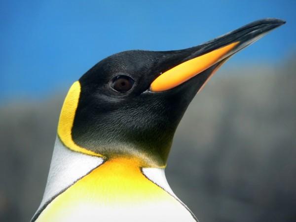 penguin pingüino