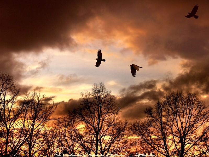 Vol de corbeaux sur couché de soleil