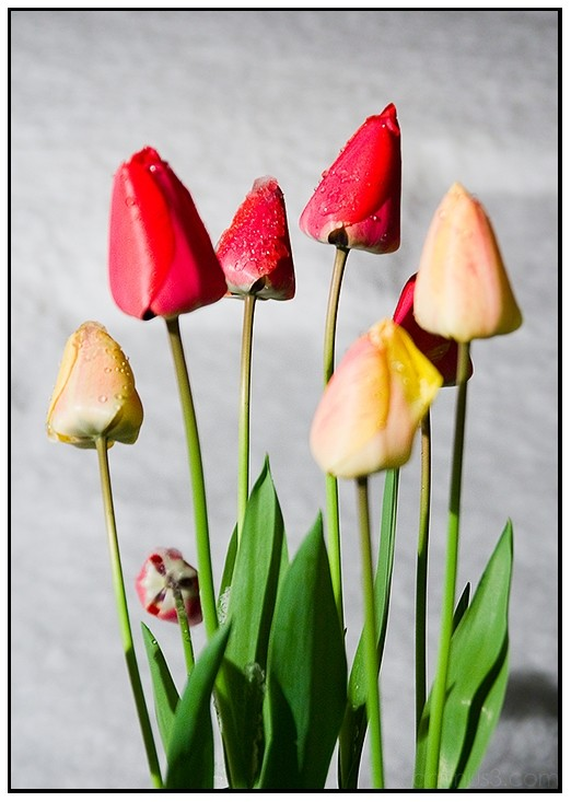 Spring tulips with snow