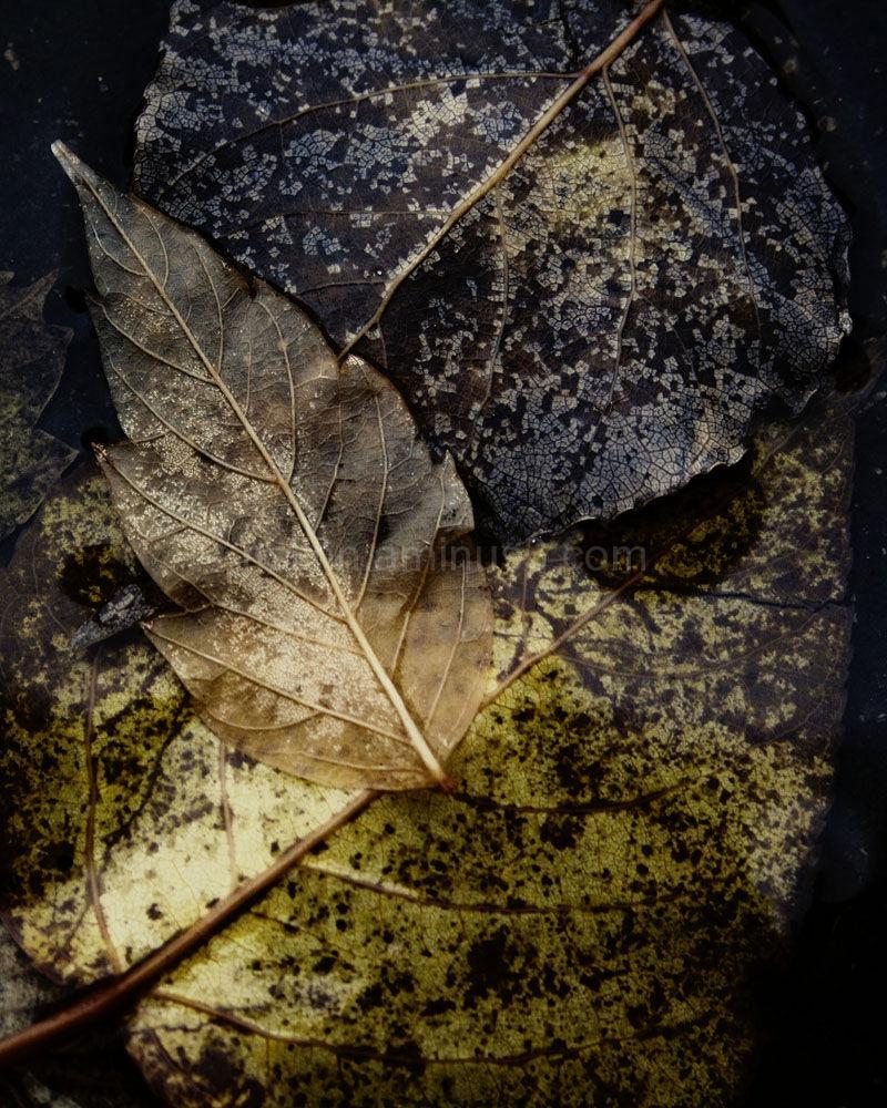 Fallen Leaves frozen in puddle